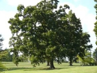 Photo of a large, lush tree